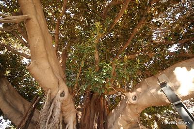 Huge Rubber Tree Supported Parque de Canalejas Alicante 26-11-2015 11-52-59
