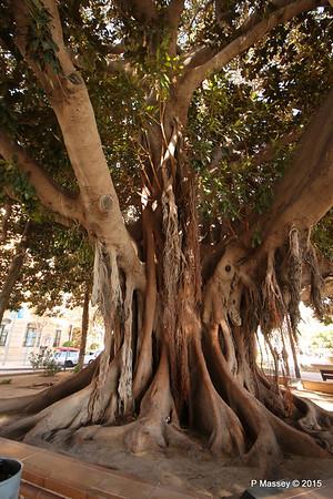 Huge Rubber Tree Supported Parque de Canalejas Alicante 26-11-2015 11-52-47
