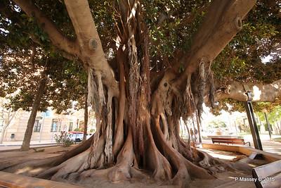 Huge Rubber Tree Supported Parque de Canalejas Alicante 26-11-2015 11-52-44