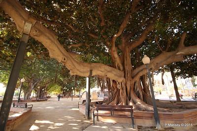 Huge Rubber Tree Supported Parque de Canalejas Alicante 26-11-2015 11-53-16