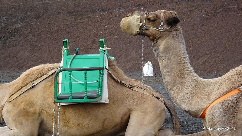 Camel Rides Mountains of Fire Timanfaya PDM 30-11-2015 10-54-28