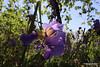 Purple Bearded Iris Suleymaniye Mosque Alanya PDM 30-04-2015 12-12-51