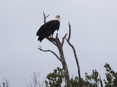 Fish Eagle at St. Lucia Wetland Park, Richards Bay