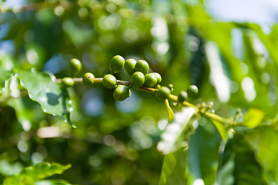Ahh, there are the coffee berries