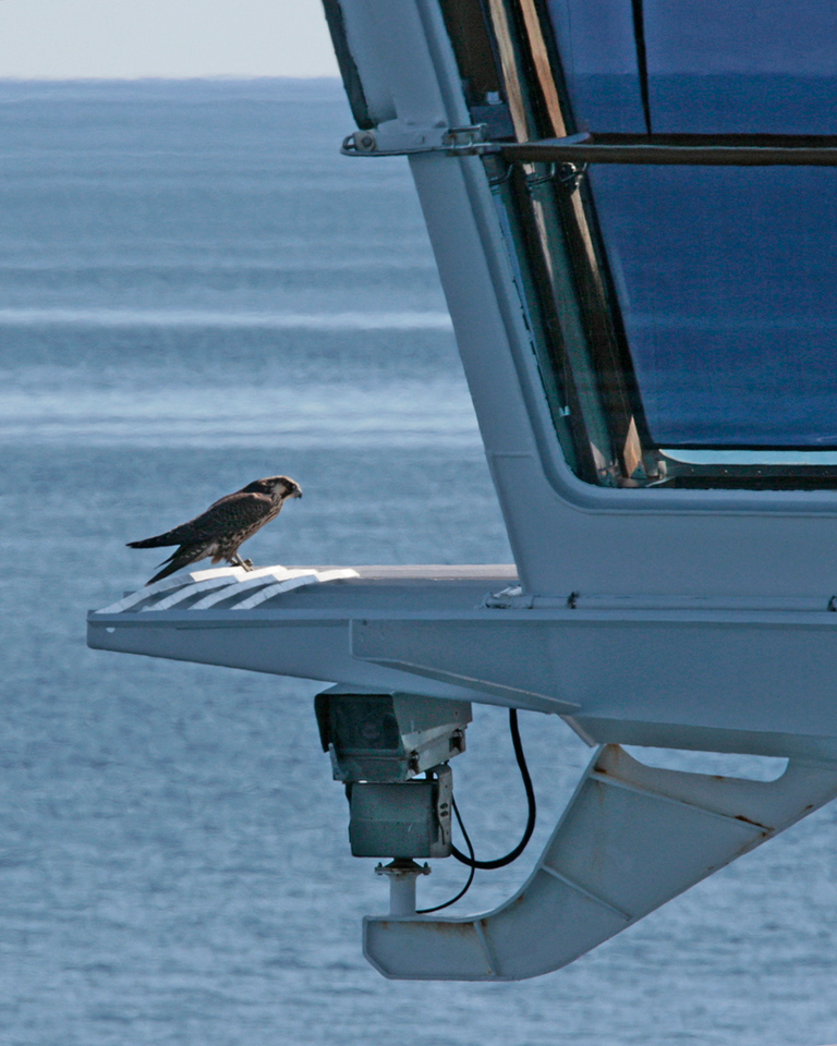 Peregrine Falcon checking in with the bridge crew after doing some recon flights around the cruise ship.