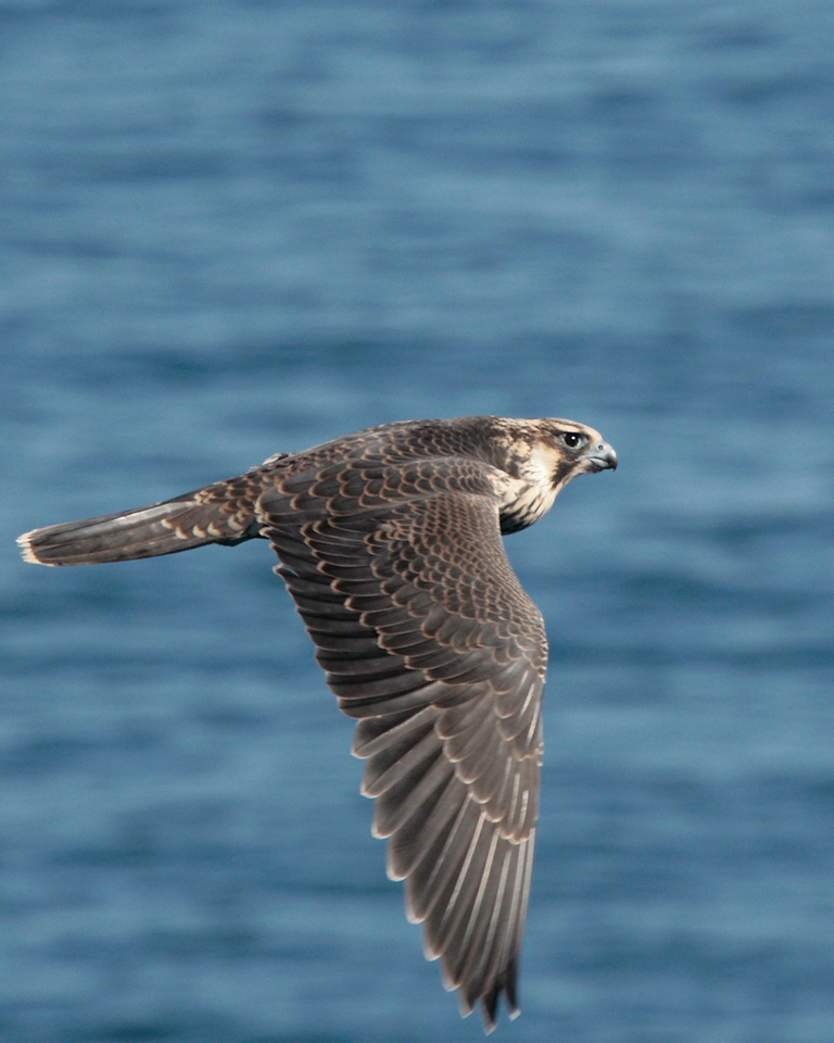 Peregrine Falcon doing a fly-by of my cabin on the cruise ship way off the coast of Maine. This was the same day I found the owl hiding out on the pool deck, so it and it's companion (there was another) could have been hitching a ride.