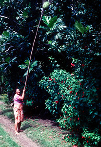 Gathering breadfruit.