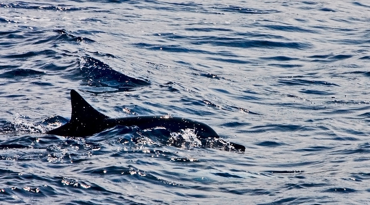 Spinner Dolphin in Silhouette