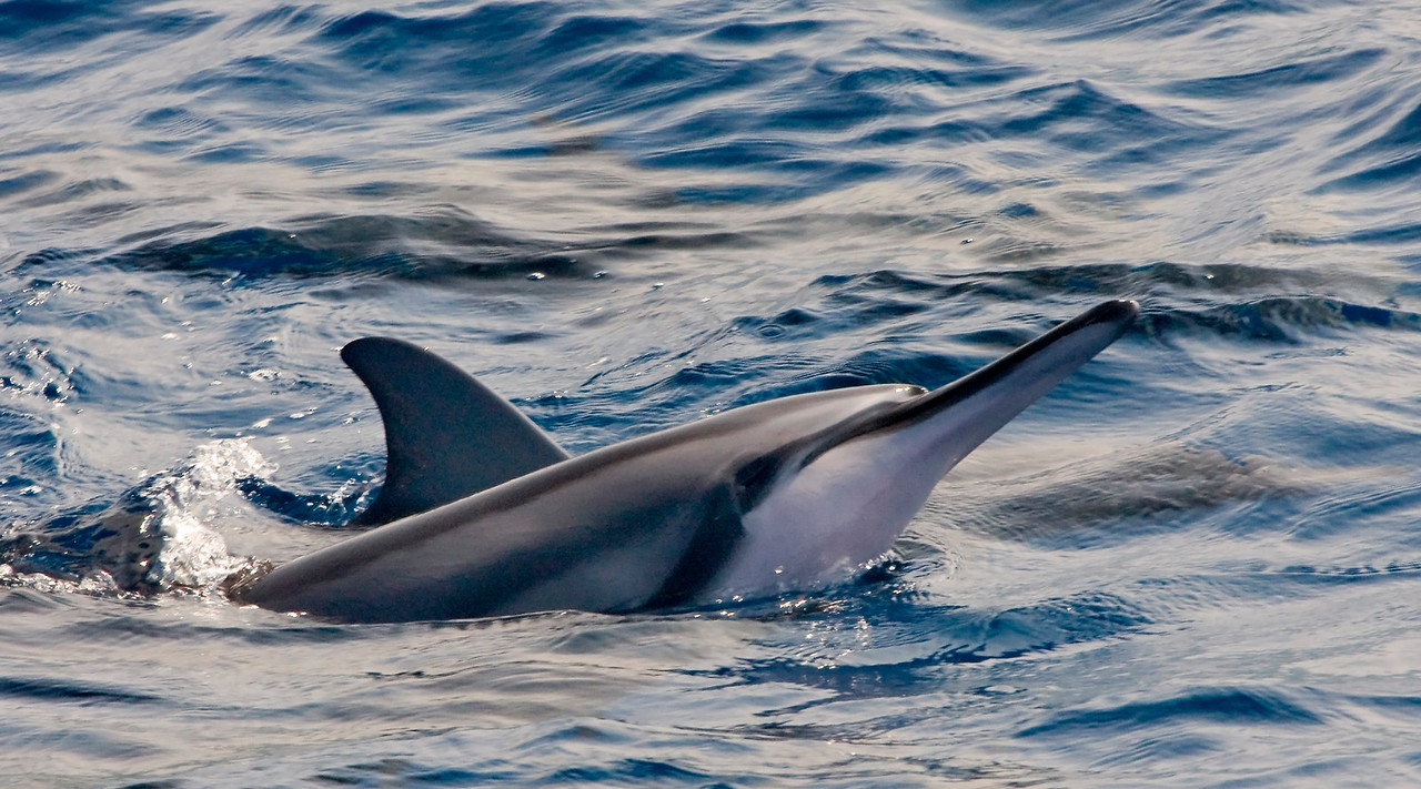 Spinner Dolphin surfacing
