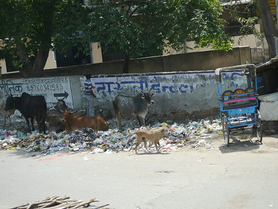 And cattle everywhere (along with lots of rubbish)