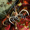 A pair of flameback coral shrimp, stenopus pyrsonotus, Big Island, Hawaii, Pacific