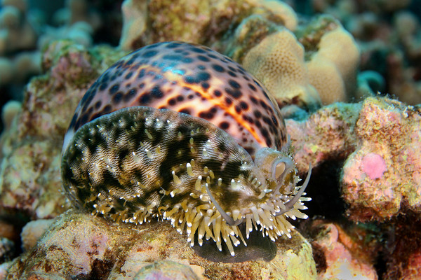 Tiger cowry, cypraea tigris, Big Island, Hawaii, Pacific