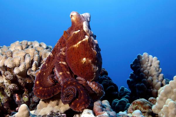 Hawaiian day octopus, octopus cyanea, Big Island, Hawaii, Pacific