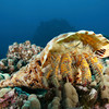 a hairy yellow hermit crab, aniculus maximus, occuping an oversized triton's trumpet shell, charonia tritonis, explores a reef in Kona, Big Island, Hawaii, Pacific