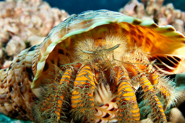 a hairy yellow hermit crab, aniculus maximus, occuping an oversized triton's trumpet shell, charonia tritonis, Big Island, Hawaii, Pacific