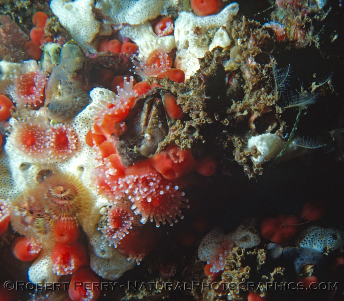 Balanus Corynactis Log 686 1980-05 Sta Cruz Island
