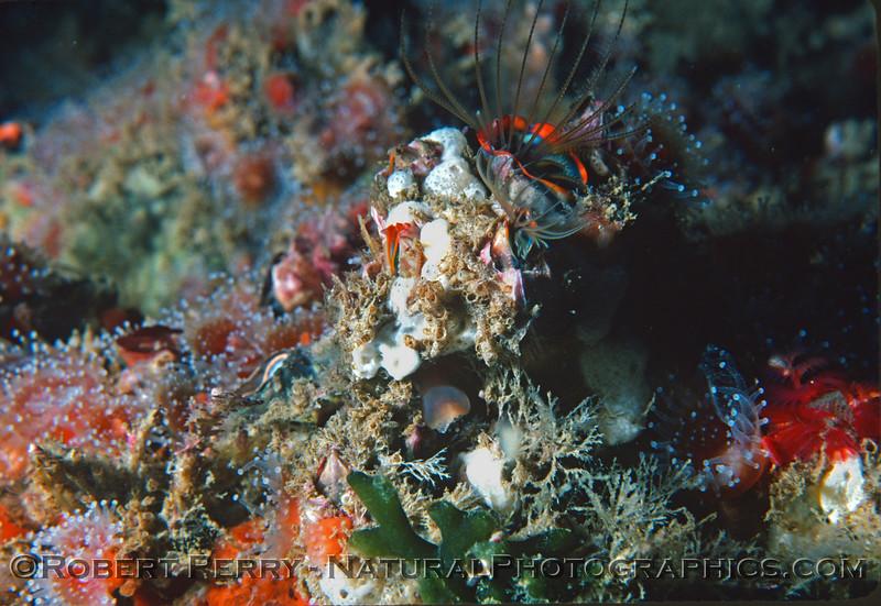 invert assemblage Balanus Corynactis Spirorbis  Log 845 1983-02 Sta Cruz Island-002