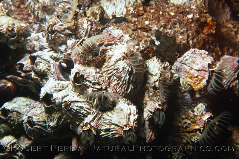 Semibalanus cariosus Log 678 1978-12 Anacapa