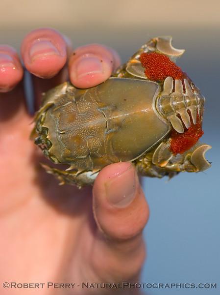 Blepharipoda occidentalis - Jumbo Spiny Sand Crab - dorsal view of gravid female