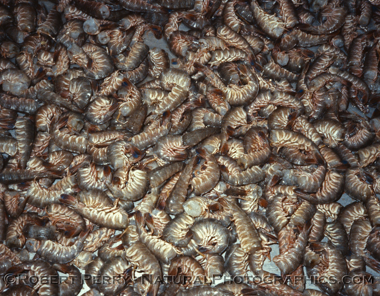 shrimp ID in basket 1986-12 Ensenada BC Mexico-02