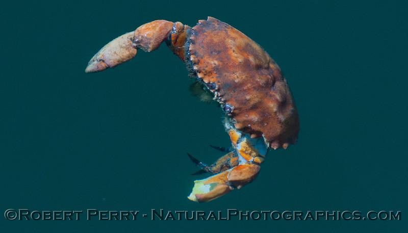 Romaleon-antennarius-DEC-floating-2012-06-26-SB-Harbor-009