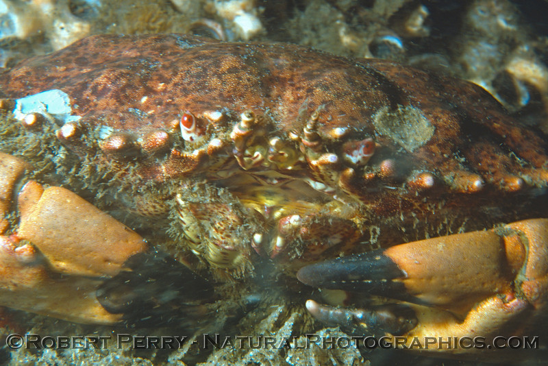 Cancer Romalion antennarium CLOSE Log 681 1980-02 SM Pier-001