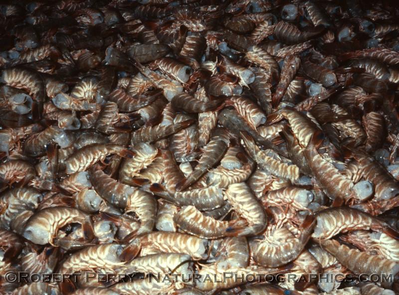 shrimp ID in basket 1986-12 Ensenada BC Mexico-01