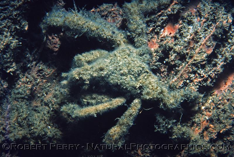 Loxorhychus crispatus juv CLOSE Log 871 1982-06 SM Pier