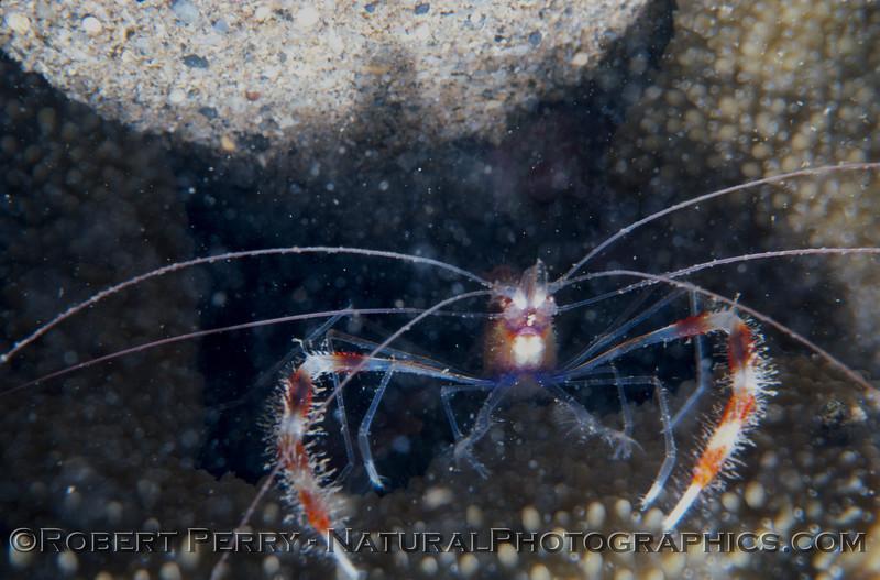 Banded Shrimp Log 903 1982-08 Kauai-002