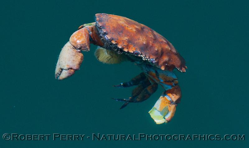 Romaleon-antennarius-DEC-floating-2012-06-26-SB-Harbor-012