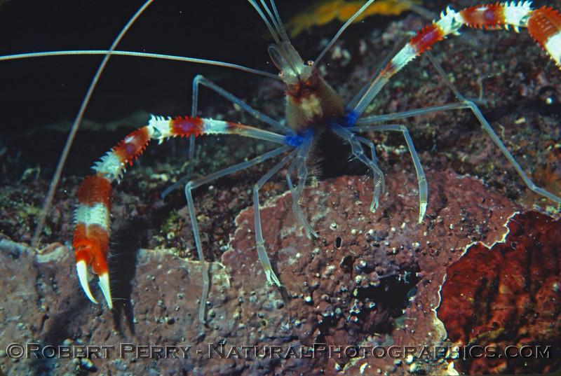 banded shrimp 1981-07 Kauai