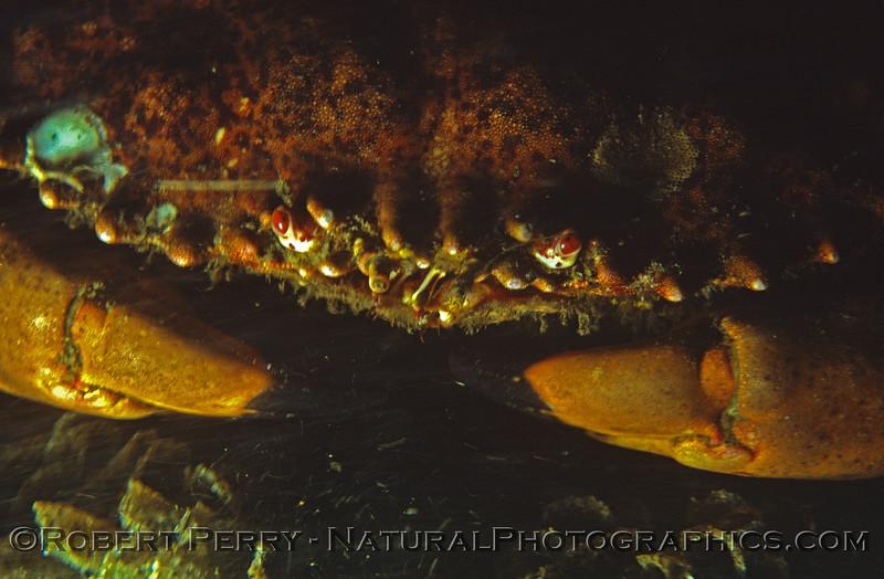 Romalion Cancer antennarium CLOSE Log 681 1980-02 SM Pier-002