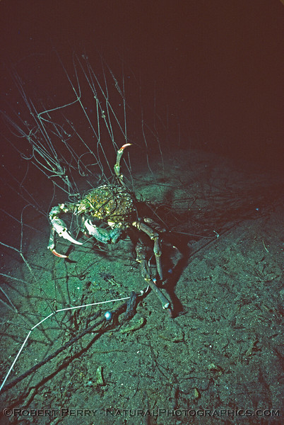 Loxorhynchus grandis in gill net Log 1045 1984-05 Sta Cruz Island-010