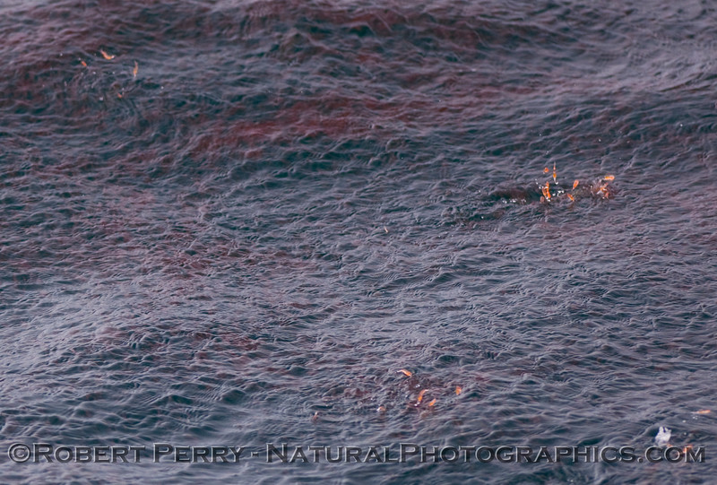 Thysanoessa spinifera krill jumping on surface Loligo opalescens attacking 2009 08-01 SB Channel b  - 233