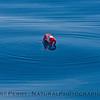 lobster trap buoys Panulirus interruptus 2015 03-04 SB Coast-006
