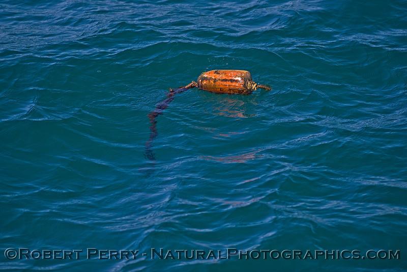 surface float lobster trap Panulirus interruptus 2015 02-27 SB Coast- 004