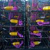 Lobster traps staging area Panulirus interruptus 2014 09-23 SB Harbor-a-098