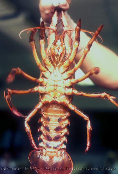 A male.  Note the small pleopods and lack of a claw on the 5th walking leg.