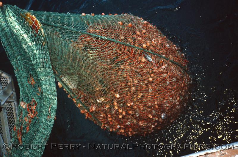 Pleuroncodes planipes in otter trawl - Vantuna - 001