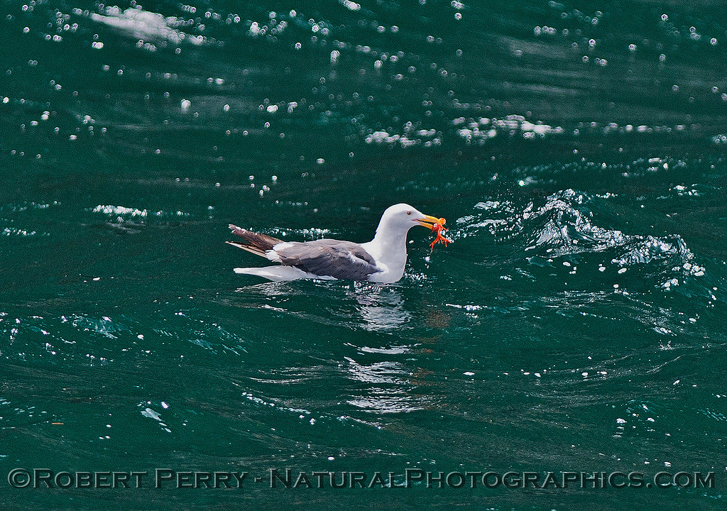 Larus occidentalis feeding on Pleuroncodes planipes 2015 08-07 SB Channel-067