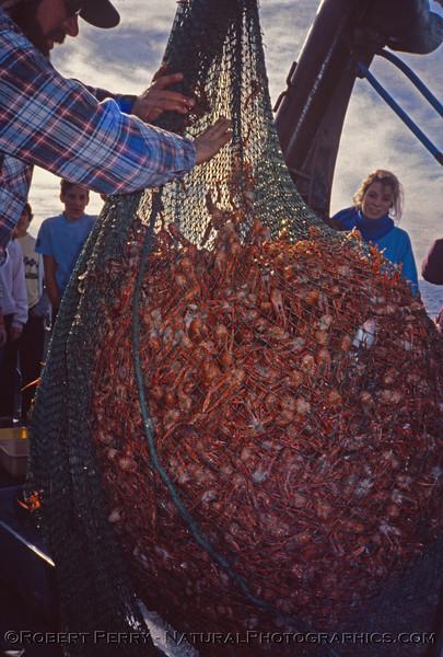 Pleuroncodes planipes in otter trawl - Vantuna - 003