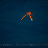 Pleuroncodes planipes Painted Cave 2015 09-03 Sta Cruz Island-049