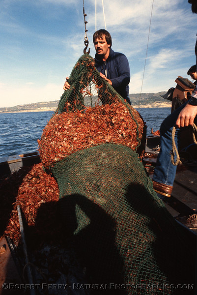 Pleuroncodes planipes mass in trawl 1985-01 Vantuna-101