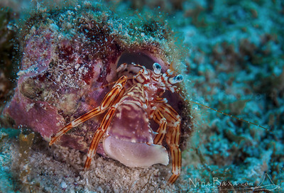 Red-Striped Hermit Crab - Grand Cayman.