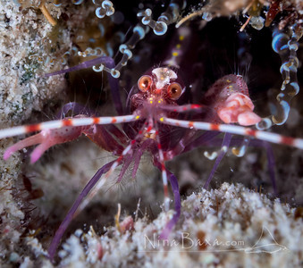 Friendly Cayman Pistol Shrimp.