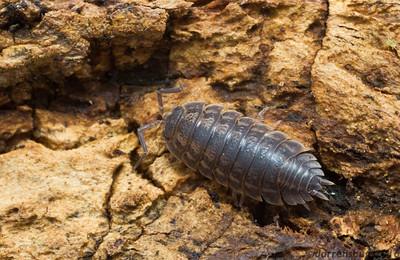 Woodlice (Isopoda) from Iowa, USA.
