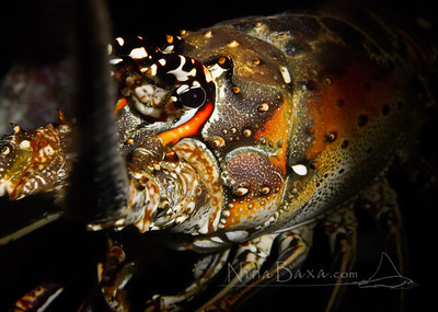 Caribbean Spiny Lobster portrait.