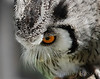 Scops Owl close-up.