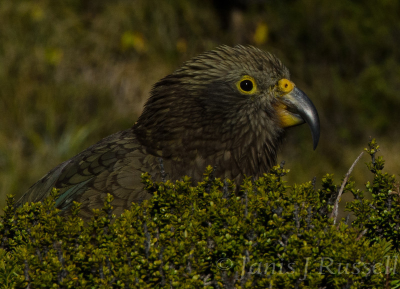 Gorgeous young kea at Sealy Tarns.