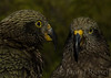 Lovely pair of young kea - Sealy Tarns.